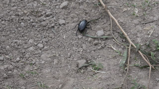 Texas Beetle Crawling On Ground Stock Footage Video - Getty