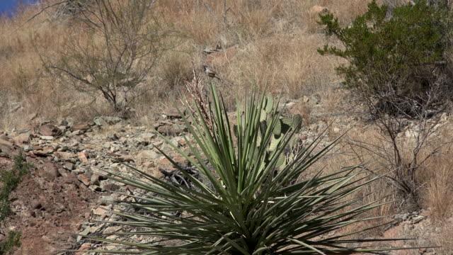 texas big bend bird on yucca flies - 熱帯の低木点の映像素材/bロール