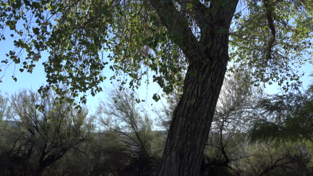 texas big bend cottonwood zoom on leaves - cottonwood tree stock videos and b-roll footage