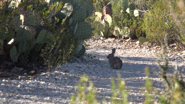 texas big bend rabbit on path - cottontail stock videos & royalty-free footage