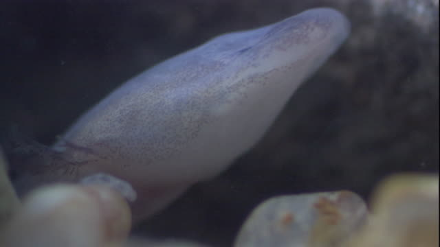 a texas blind salamander senses and then eats an amphipod in a cave pool. available in hd. - texas stock videos & royalty-free footage