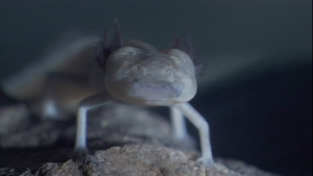 a texas blind salamander stands on a rock and lifts one leg. available in hd. - texas stock videos & royalty-free footage
