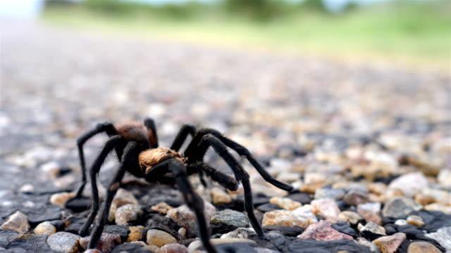 texas brown tarantula crossing a road - animal crossing sign stock videos & royalty-free footage