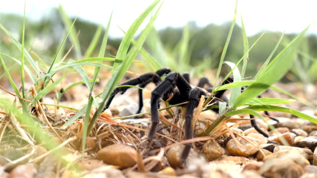 texas brown tarantula crossing a road - poisonous stock videos & royalty-free footage