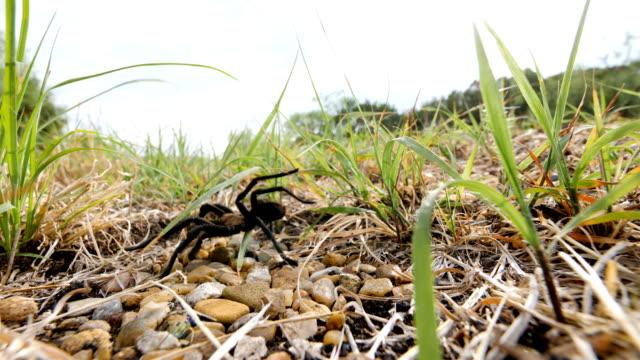 Texas Brown Tarantula Crossing a road