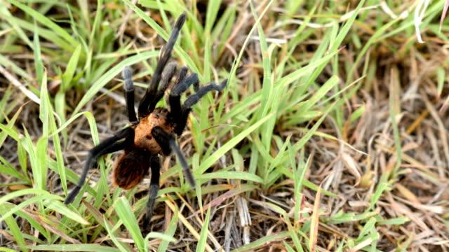 Texas Brown Tarantula
