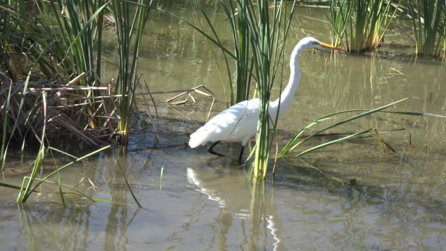 texas great egret in reeds - great egret stock videos and b-roll footage
