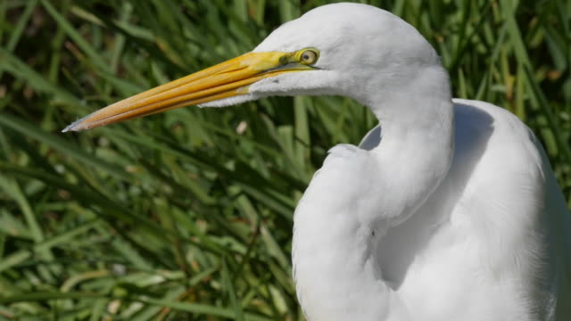 texas great egret with yellow beak and eye - great egret stock videos and b-roll footage