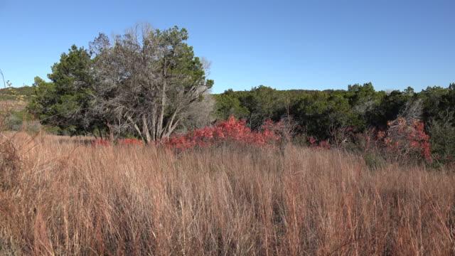 vídeos de stock, filmes e b-roll de texas hill country dry grass and red sumac leaves - arbusto tropical