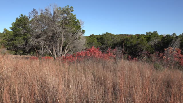 vídeos de stock, filmes e b-roll de texas hill country dry grass and red sumac leaves zoom in - arbusto tropical