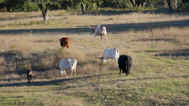 stockvideo's en b-roll-footage met texas hill country longhorns - texas longhorn
