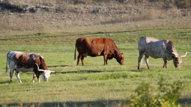 stockvideo's en b-roll-footage met texas longhorn cattle grazing - texas longhorn