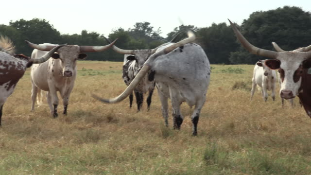 texas longhorn cattle in central texas - cattle stock videos & royalty-free footage