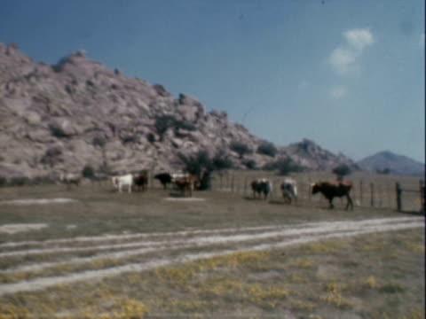 stockvideo's en b-roll-footage met texas longhorn cattle - texas longhorn