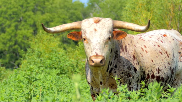texas longhorn cattle - horned stock videos & royalty-free footage
