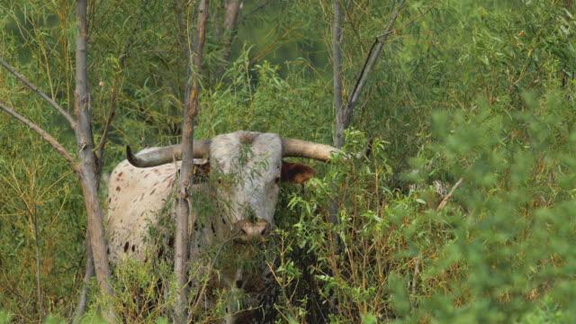 stockvideo's en b-roll-footage met texas longhorn vee - texas longhorn