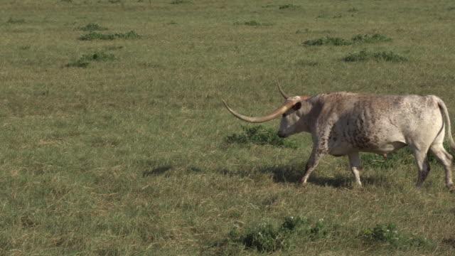 stockvideo's en b-roll-footage met texas longhorn walks in a pasture - texas longhorn