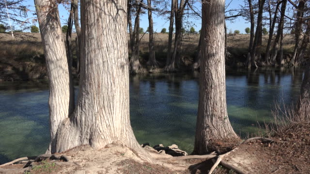 vídeos de stock e filmes b-roll de texas medina river cypress trees standing on banks - tronco de árvore