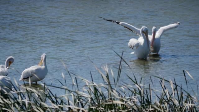 stockvideo's en b-roll-footage met texas pelicans flapping wings - vier dieren