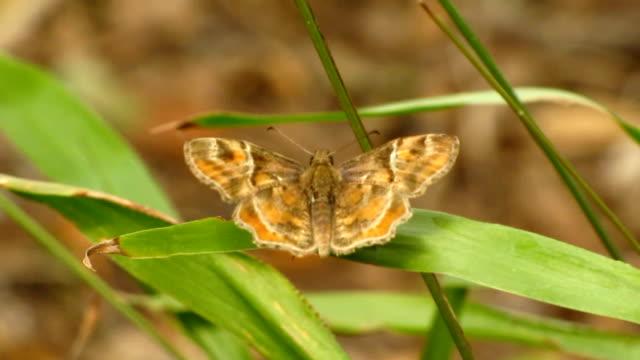 vidéos et rushes de poudre texas-skipper - des papillons dans le ventre