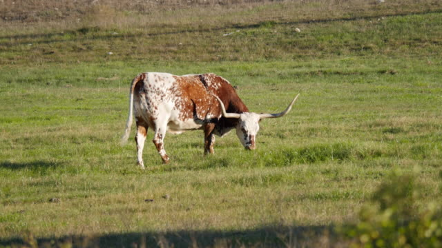stockvideo's en b-roll-footage met texas red and white longhorn cow grazing and lifts head - texas longhorn