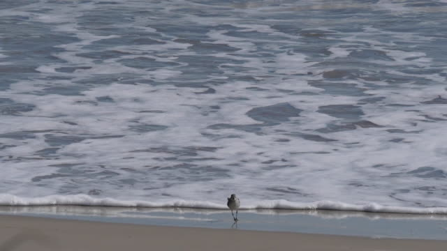 texas sandpiper on edge of surf - sandpiper stock videos & royalty-free footage