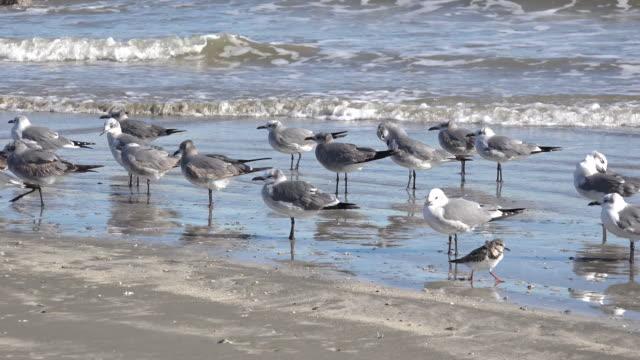 texas sea gulls and little running birds - sandpiper stock videos & royalty-free footage