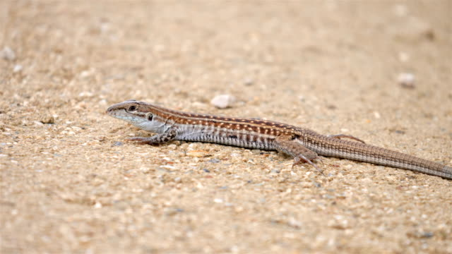 texas spotted whiptail, guadalupe mountains national park - lizard stock videos and b-roll footage