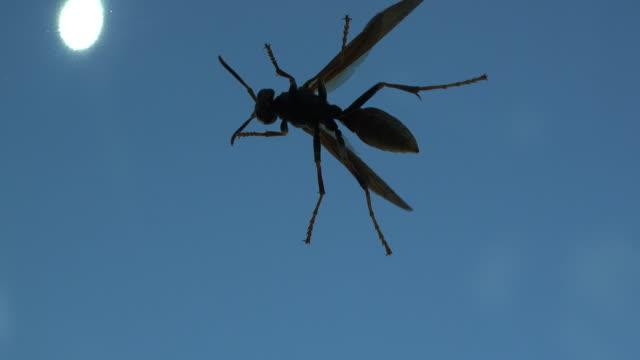 Texas wasp on window