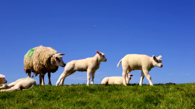 texel sheep on the island of texel, the netherlands - levee stock videos & royalty-free footage