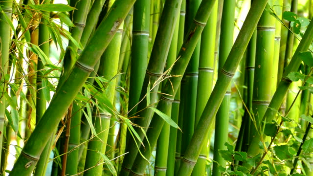 texture - bamboo thickets - bamboo plant stock videos and b-roll footage