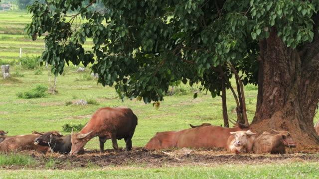 thai buffalo - pascolare video stock e b–roll
