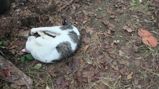 thai cat skin dermatitis from flea bite - infiammazione video stock e b–roll