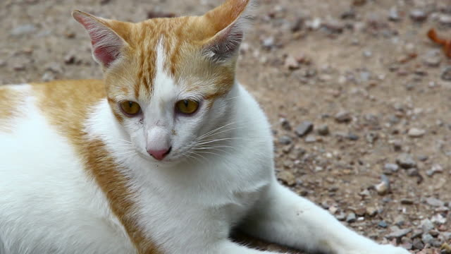 thai-cat - schnurrhaar stock-videos und b-roll-filmmaterial