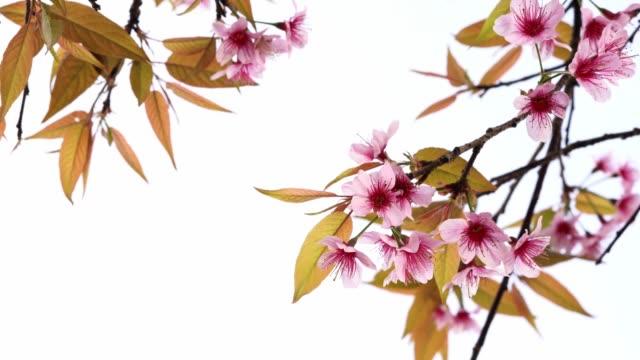vidéos et rushes de tigre thaï de fleur de cerisier - arbre à feuilles caduques