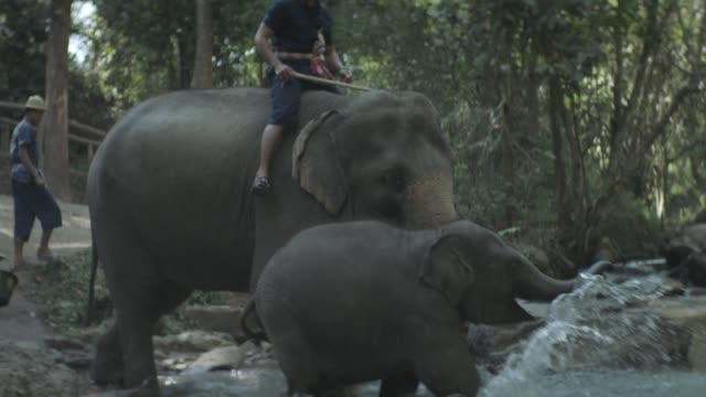 Thai Elephant Calf bathing in River with Older Elephant