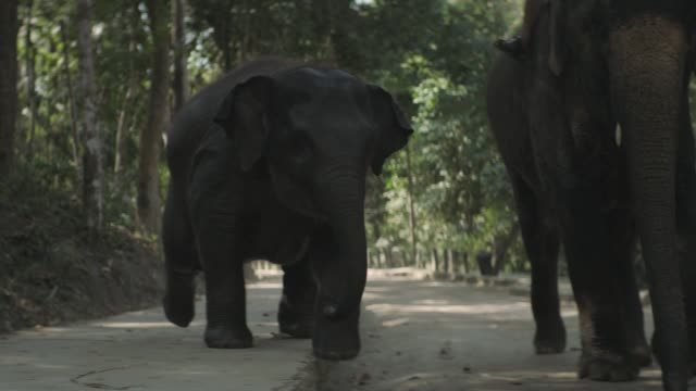 Thai Elephant Calf walking side by side with their Mahout