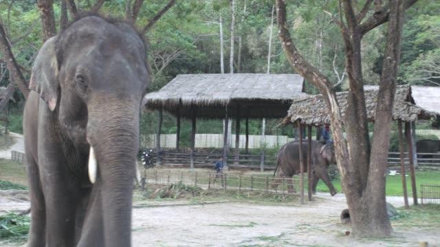 Thai Elephant Waving in Thailand Elephant Kingdom