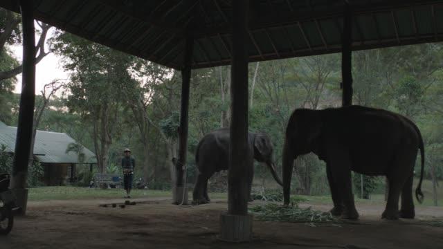thai elephants eating in thailand elephant kingdom - anamorphic stock videos & royalty-free footage