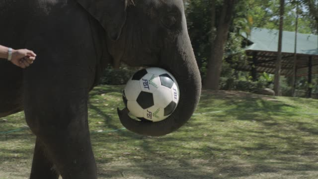 Thai Elephants playing Soccer with Handlers in Thailand Elephant Kingdom