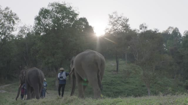 thai elephants walking in jungle - elefant stock-videos und b-roll-filmmaterial