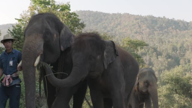 Thai Elephants walking in Jungle