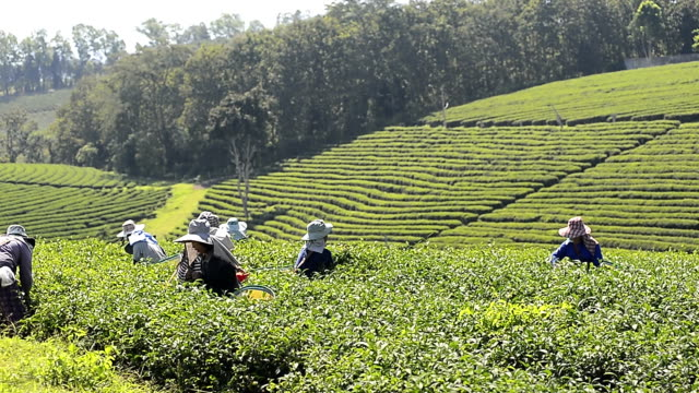 thai farmer picking tea harvest at thailand highland plantation - tè raccolto video stock e b–roll