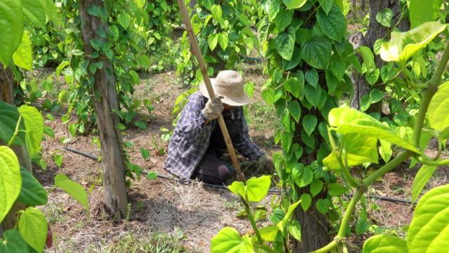 vídeos de stock, filmes e b-roll de tailandês agricultor trabalhando na plantação - só uma mulher idosa