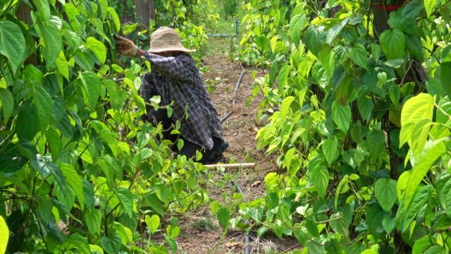 thai farmer working on plantation - pensionati lavoratori video stock e b–roll