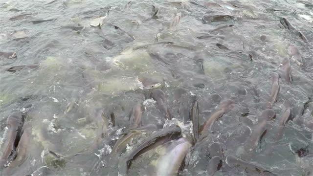 vídeos de stock, filmes e b-roll de peixe de cobra fish.striped tailandesa. - alimentando