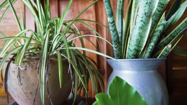 タイの屋内庭園鳥の巣シダと法律舌観葉植物の母親 - 観葉植物点の映像素材/bロール