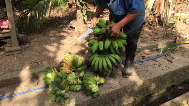 thai man cutting ripe and raw banana fruits - banana stock videos & royalty-free footage