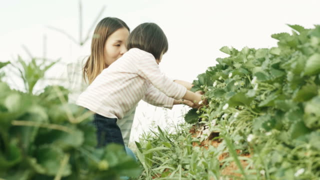 thai mother is teaching her daughter to pick and keep strawberry with her baby while they are traveling at strawberry farm-travel and leisure activity - agricultural activity stock videos & royalty-free footage