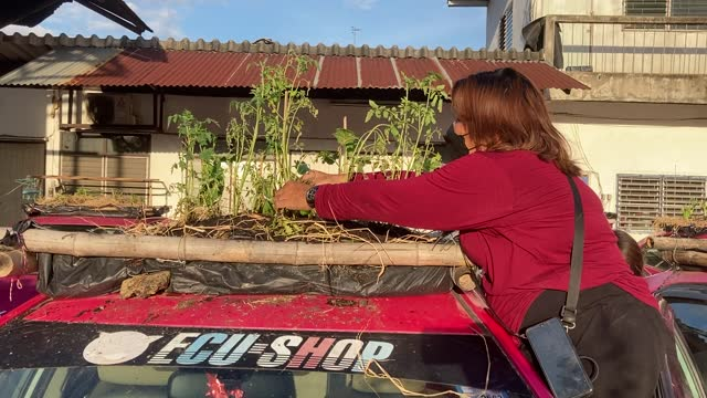 thai staff members of the ratchaphruek taxi cooperative water their community vegetable garden that was built on top of out of use thai taxis on... - bangkok stock videos & royalty-free footage